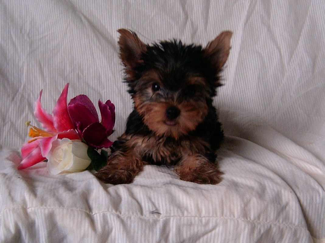 Pruitt\'s Yorkie Puppies For Sale